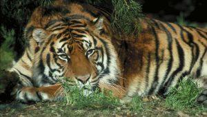 Hombre intenta domar a furioso tigre que cuidó de bebé y este reacciona de la peor forma posible